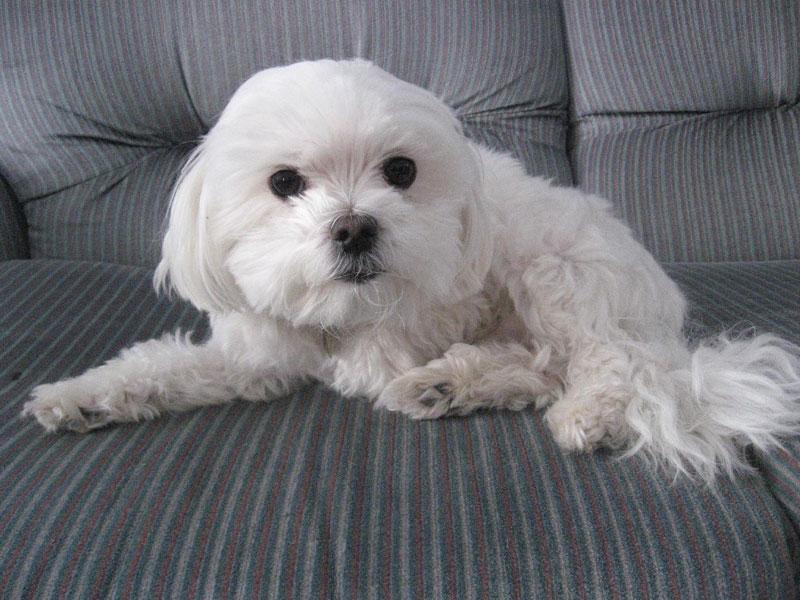 little-dog